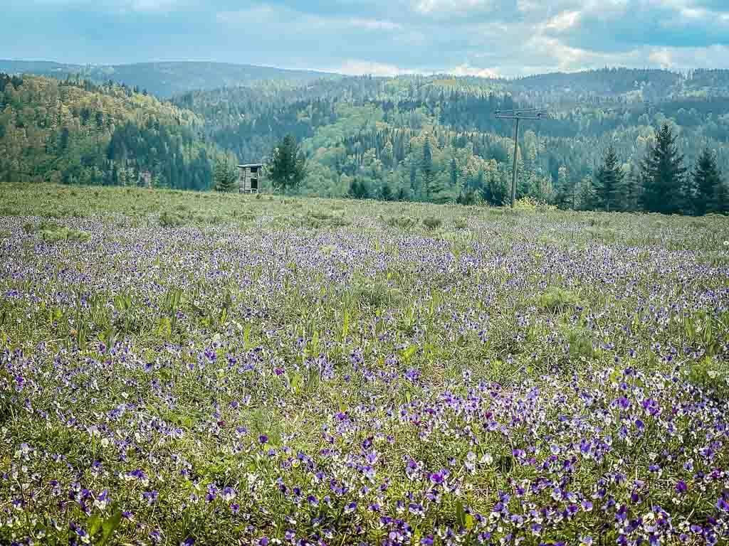 Veilchenwiese und Wald auf dem Frankenwaldsteigla Ködeltour