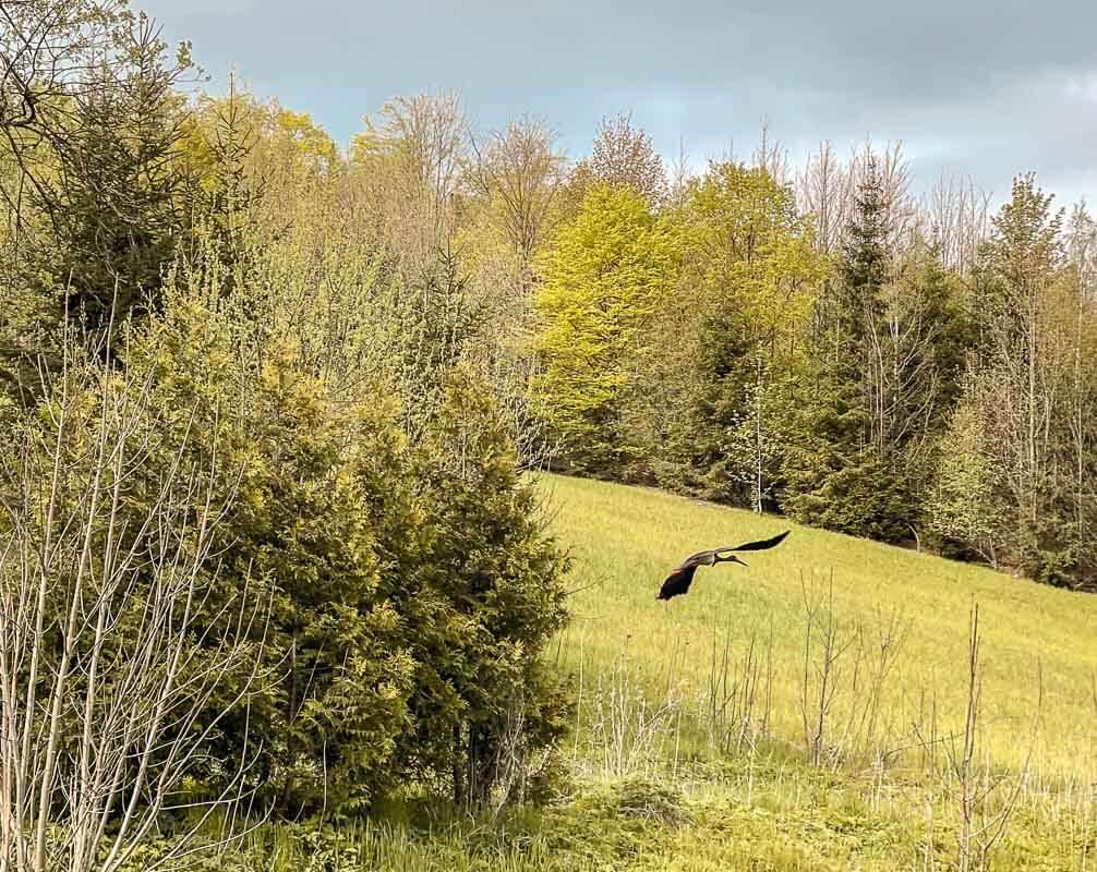 Frankenwald Wandern - Schwarzstorch fliegt über die Wiesen bei Geroldsgrün
