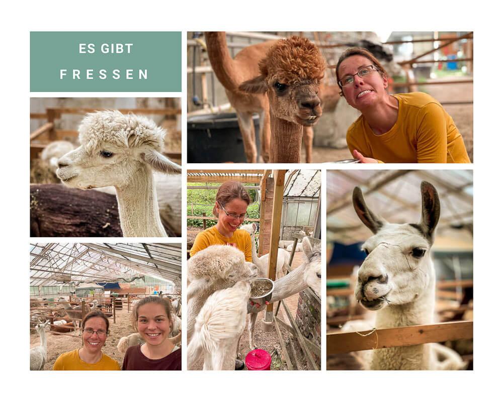 Daniels Kleine Farm - Fütterung der Alpakas im Stall mit Couchflucht