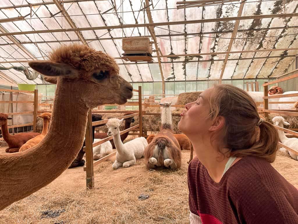 Frau will Alpaka küssen im Stall von Daniels Kleiner Farm