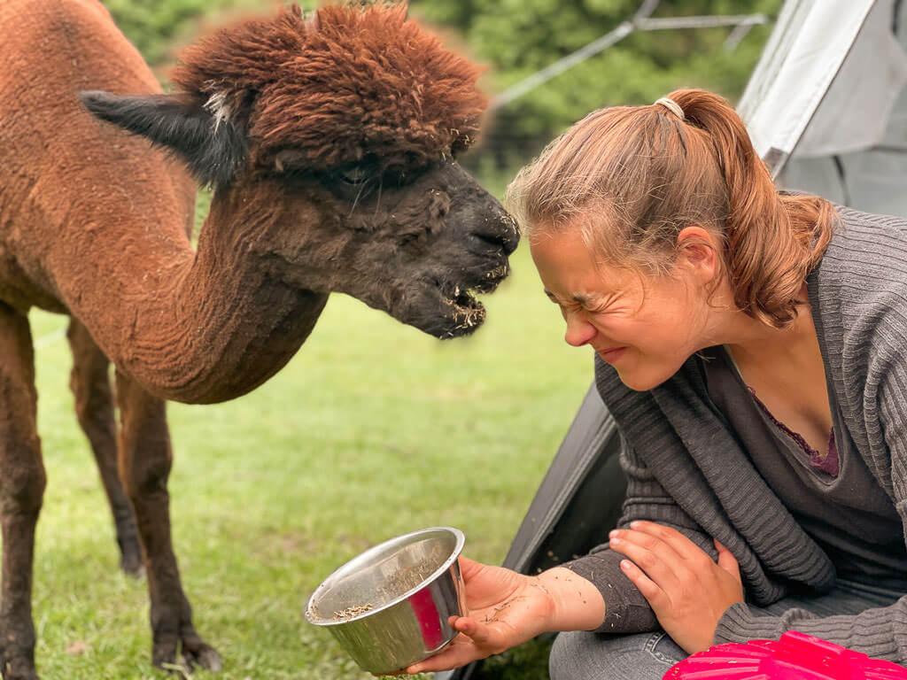 Fütterung eines Alpakas beim Zelten auf Daniels Kleiner Farm