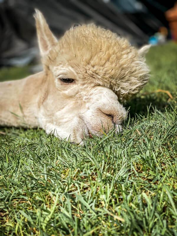 Alpaka chillt auf der Weide von Daniels Kleiner Farm