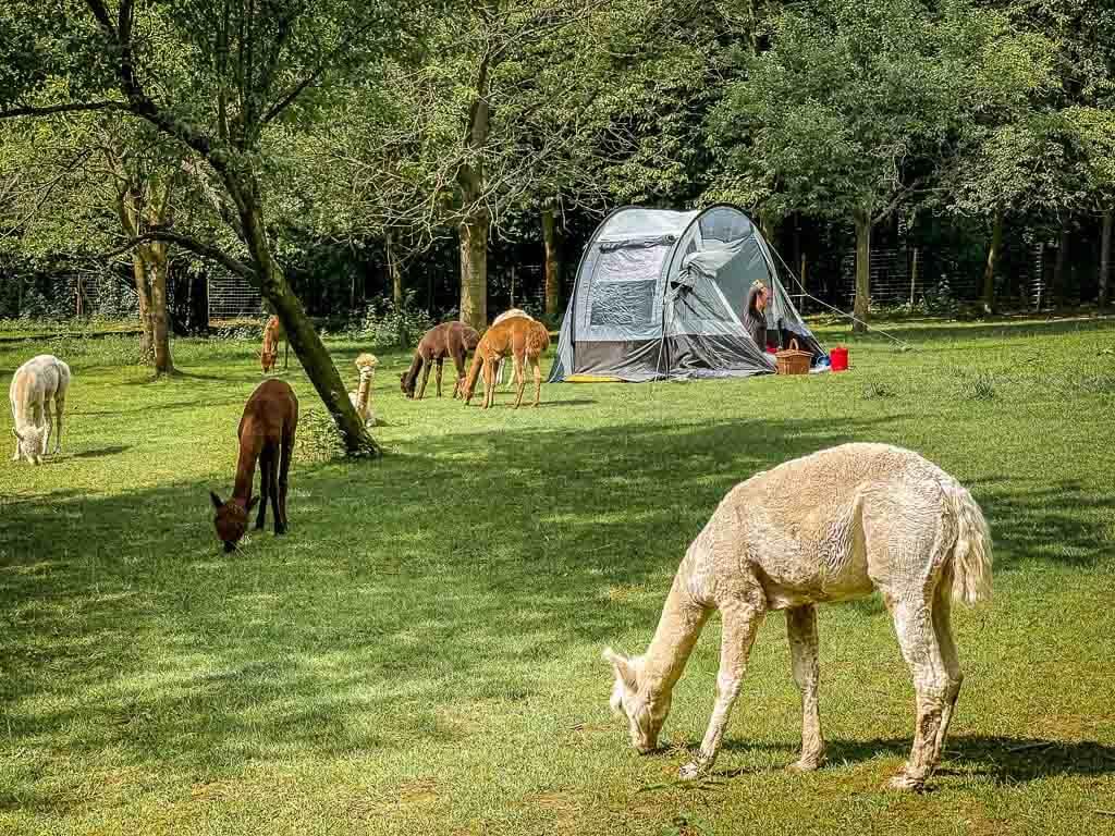 Zelten auf der Alpaka Weide bei Daniels Kleiner Farm