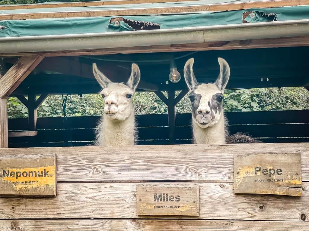 Die Lamas Max und Moritz auf Daniels Kleiner Farm